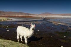 Alpaga bianca a Laguna Colorada Immagini Stock Libere da Diritti