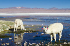 Alpaga bianca a Laguna Colorada Fotografia Stock Libera da Diritti