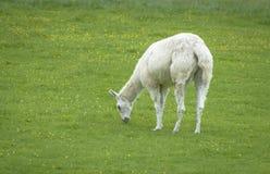 Alpaga bianca pelosa che mangia erba Fotografia Stock