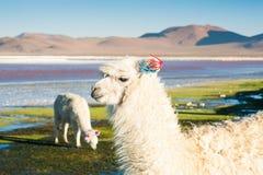 Alpaga bianca su Laguna Colorada, Altiplano, Bolivia Fotografia Stock