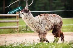 Alpaga bianca sull'azienda agricola Immagini Stock