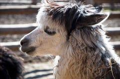 Alpaga bianca sveglia Immagini Stock Libere da Diritti