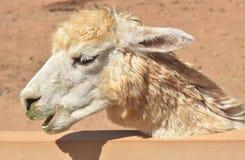 Alpaga bianca in un'area recintata con la sua bocca leggermente aperta Fotografia Stock