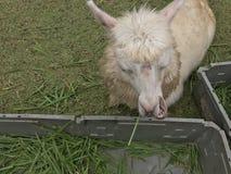 Alpaga bianca in zoo aperto Fotografia Stock Libera da Diritti