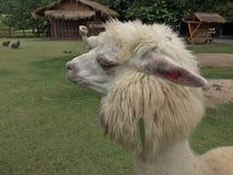 Alpaga bianca in zoo aperto Fotografia Stock