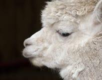 Alpaga blanc Images libres de droits