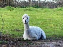 Alpaga blanc se reposant sur la terre dans le domaine images libres de droits