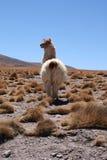 Alpaga in Bolivia Fotografia Stock Libera da Diritti