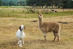 Alpaga & capra Fotografie Stock Libere da Diritti