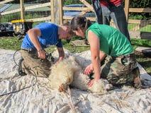 Alpaga che è tosata su un'azienda agricola BRITANNICA dell'alpaga Fotografie Stock Libere da Diritti