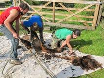 Alpaga che è tosata su un'azienda agricola BRITANNICA dell'alpaga Immagini Stock Libere da Diritti