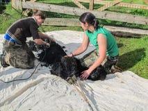 Alpaga che è tosata su un'azienda agricola BRITANNICA dell'alpaga Fotografia Stock Libera da Diritti