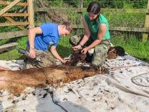 Alpaga che è tosata su un'azienda agricola BRITANNICA dell'alpaga Immagini Stock