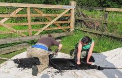 Alpaga che è tosata su un'azienda agricola BRITANNICA dell'alpaga Fotografia Stock