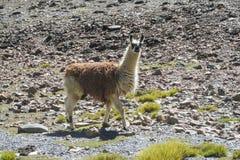 Alpaga che cammina sulle pietre Fotografia Stock