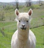 Alpaga che mangia erba Fotografia Stock Libera da Diritti