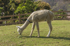 Alpaga che mangia erba Immagine Stock