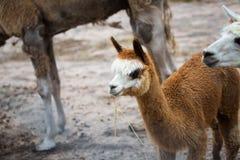 Alpaga che mangia erba nell'azienda agricola Fotografia Stock Libera da Diritti