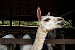 Alpaga che mangia erba in recinto per bestiame Fotografia Stock Libera da Diritti