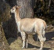 Alpaga che mangia fieno Immagine Stock
