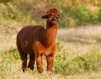 Alpaga che mangia in un'azienda agricola Immagini Stock Libere da Diritti