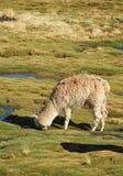 Alpaga che pasce Fotografia Stock Libera da Diritti