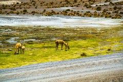 Alpaga che pasce nel campo a Colorada Laguna Fotografie Stock Libere da Diritti