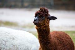 Alpaga con capelli selvaggi, sudici, divertenti Fotografie Stock