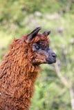 Alpaga con il corpo coperto di riccioli lanosi molli Fotografia Stock Libera da Diritti