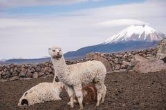 Alpaga contro il vulcano Fotografia Stock Libera da Diritti