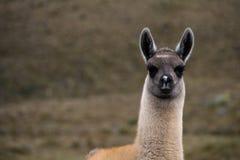 Alpaga curiosa Fotografia Stock Libera da Diritti