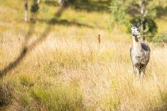 Alpaga da sè in un campo Fotografie Stock