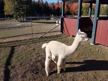 Alpaga dal Perù Fotografie Stock Libere da Diritti