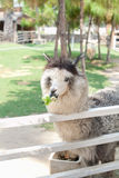Alpaga dans la ferme Images libres de droits