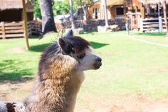 Alpaga dans la ferme de la Thaïlande Photo stock