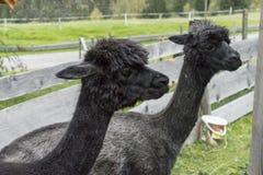 Alpaga dans une clôture Image stock