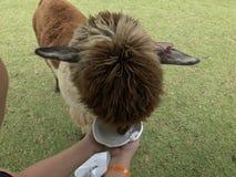 Alpaga de Brown alimentant dans le zoo ouvert photographie stock libre de droits