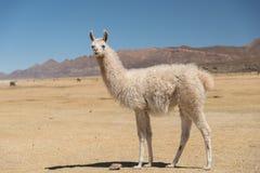 Alpaga de lama dans Altiplano, Bolivie, Amérique du Sud image stock