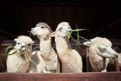 Alpaga de lama mangeant l'herbe de ruzi dans la ferme rurale de ranch de bouche Photo stock