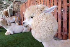 Alpaga dei capelli bianchi Fotografia Stock Libera da Diritti
