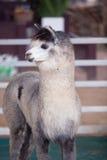 Alpaga dei lama nelle stalle Immagine Stock Libera da Diritti