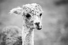 Alpaga del bambino, anche chiamata Cria Rebecca 36 Fotografia Stock