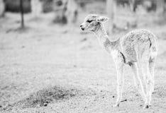 Alpaga del bambino, anche chiamata Cria Rebecca 36 Immagini Stock Libere da Diritti