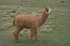 Alpaga del bambino nel Perù Immagine Stock Libera da Diritti