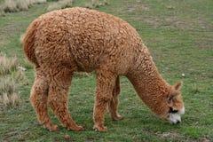 Alpaga del bambino nel Perù Fotografia Stock Libera da Diritti