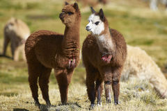 Alpaga del bambino sul Altiplano del Cile del Nord Fotografie Stock Libere da Diritti