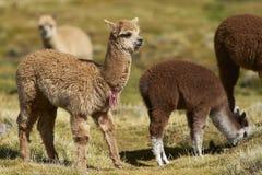 Alpaga del bambino sul Altiplano del Cile del Nord Fotografia Stock Libera da Diritti