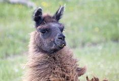 Alpaga del lama Immagine Stock Libera da Diritti