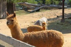Alpaga del lama (pacos del Vicugna), messa a fuoco (del primo) lama anteriore Fotografia Stock