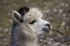 Alpaga della lama. Fotografie Stock Libere da Diritti